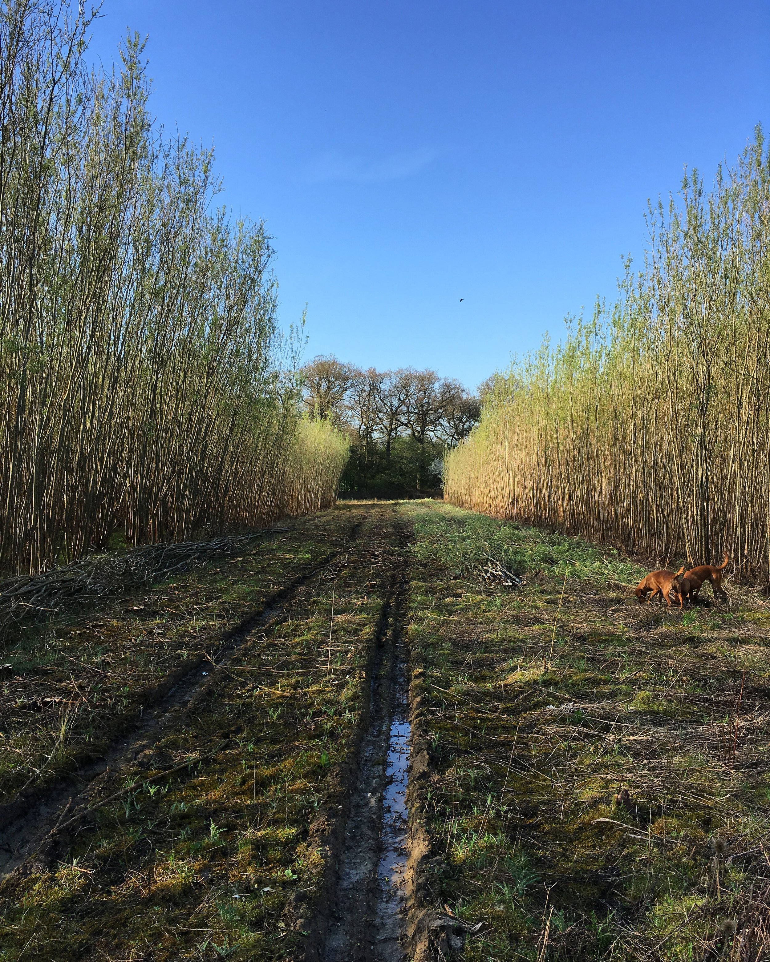 What is the wood you use to weave with? - We weave with willow. We cut all of our willow from local willow beds which were originally planted for biomass. The willow is a hybrid which grows very tall, very fast and very straight. Willow is a coppice product, therefore, once cut it will grow again. We cut our willow ideally in a 2 year rotation, so the rods that we are using in your fence are between 2-3 years old and roughly 10-15ft long and varying in thickness. The willow used for every job is freshly cut; we cut all year round. Willow is our preference over hazel, however, we can weave in hazel if you would rather. We prefer the look of woven willow; it compliments a wider range of gardens than the more rustic look that hazel gives. Furthermore, the rods we use are straighter than hazel rods, giving cleaner, more uniformed lines. We also see the benefits of using thicker willow rods as it makes for stronger, longer lasting structures as well as defining the beautiful plaits you see in the weave.