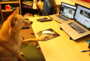 School and work routines can change for your dog too. Jari is hard at work montoring our social media analytics.