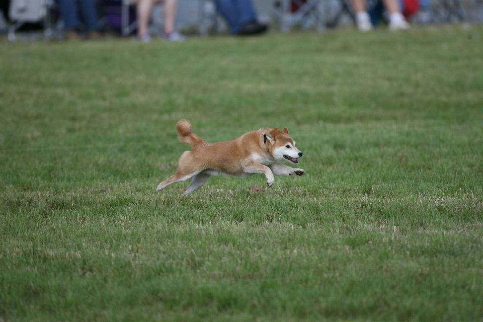 Dogs with reliable recalls can do sports like lure coursing.