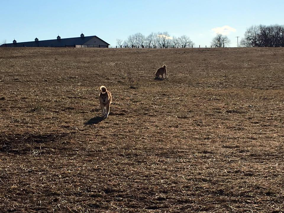 Practicing reliable recalls in a fenced 7 acre field. Plenty to smell and easy to ignore me or even run off it they hadn't practiced prior.
