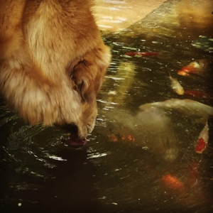 Shinra loves his fishy friends. He starts dog sports in 2018!