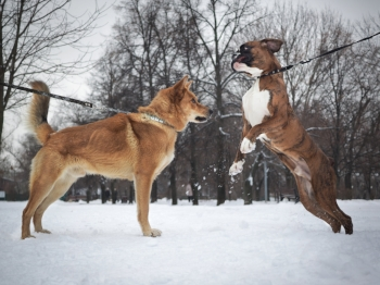 Many non-primtiive breeds overwhelm adult primitive dogs. Be extra careful with heighly energetic breeds when introducing them. Protect your adult dog's face and in doing do you'll be protecting your puppy's face too.