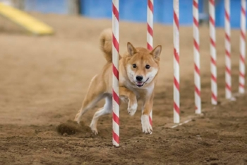 Shelby, owned by Joni Andrews Rizzi, finishing up the weave poles; photo credit Ken Gee Photography