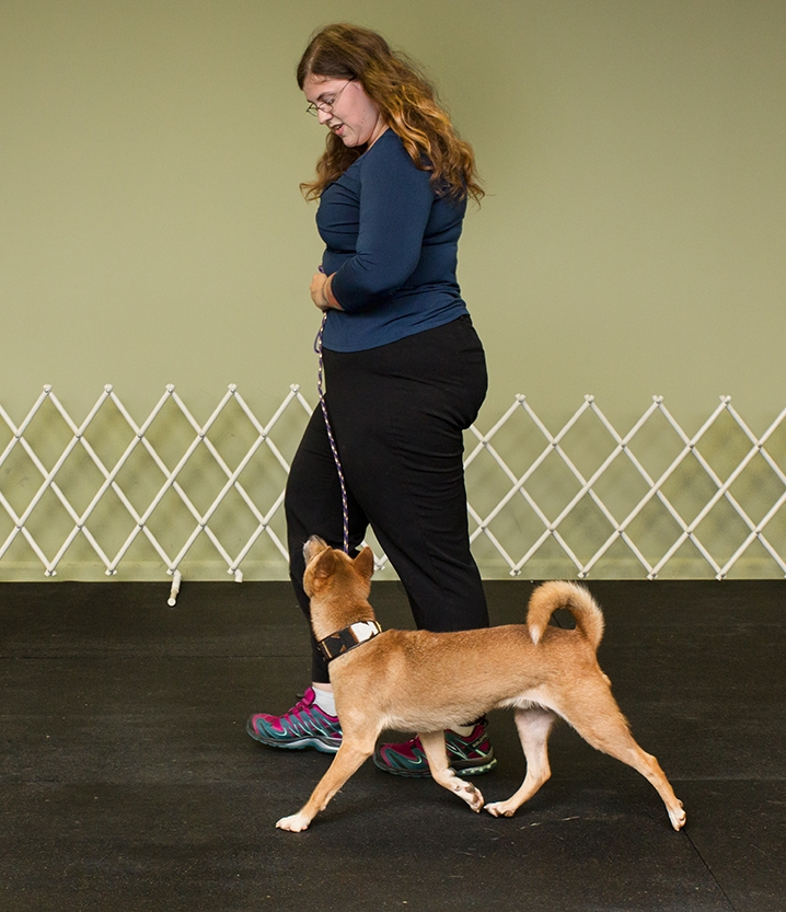 Journey, a New Guinea Singing Dog, performing a perfect heel on leash. With Captivating Connections you dog will learn to never take their eyes off you.