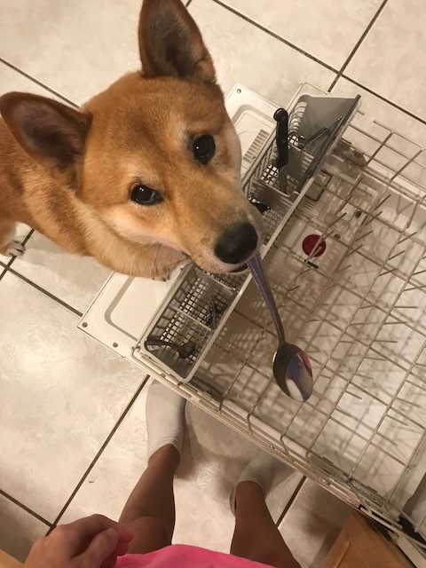 Service dog Chiyo will never forget his humble beginnings, earning meals spoon by spoon!
