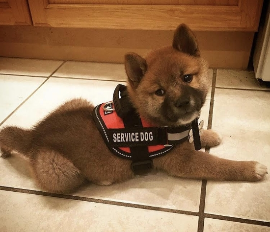 (Chiyo at 9 weeks old, wearing his very first puppy sized vest)