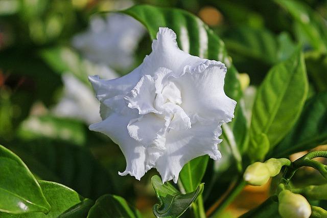 gardenia-1509312_640.jpg