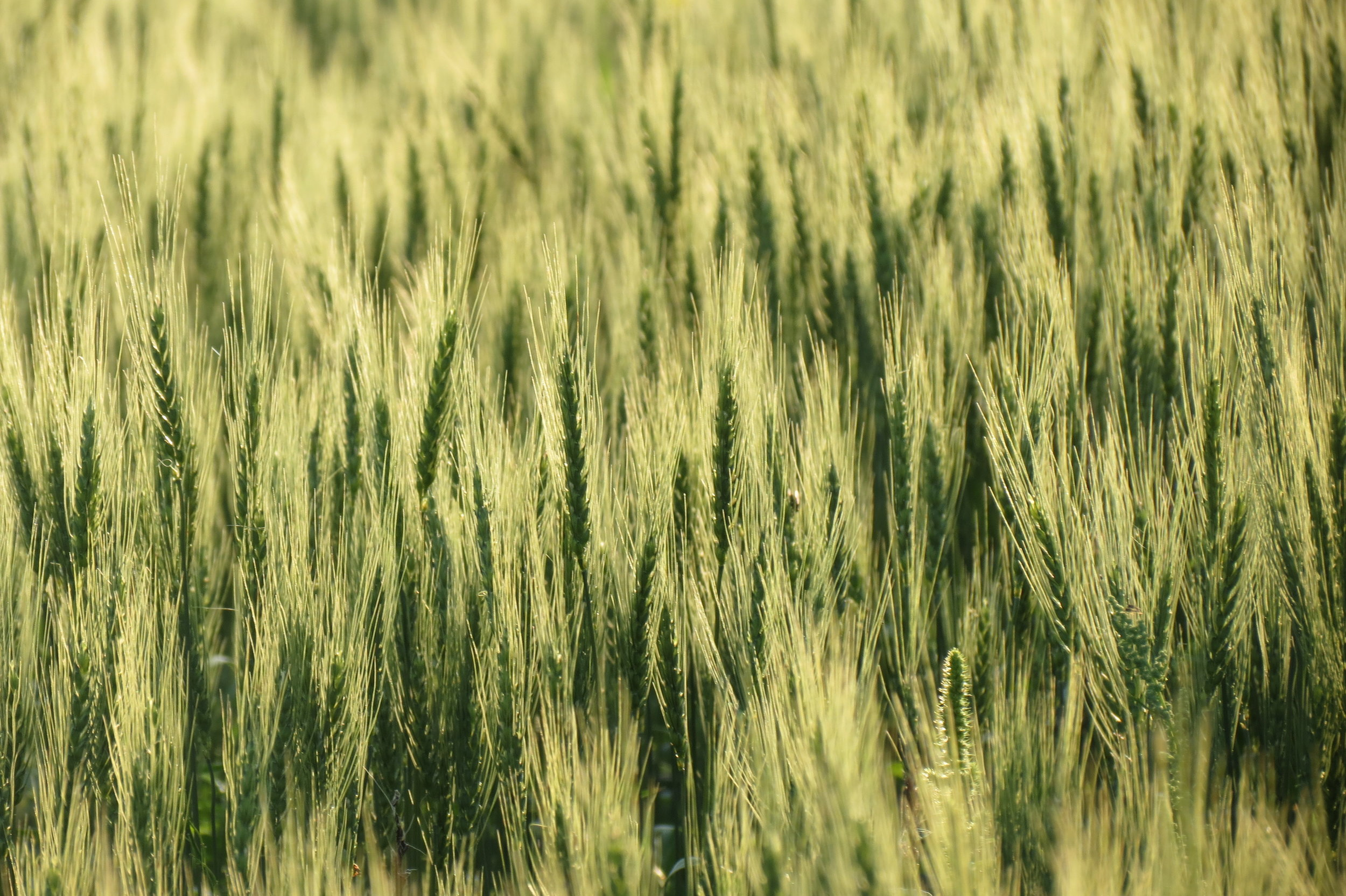 Hard red spring wheat 1.JPG