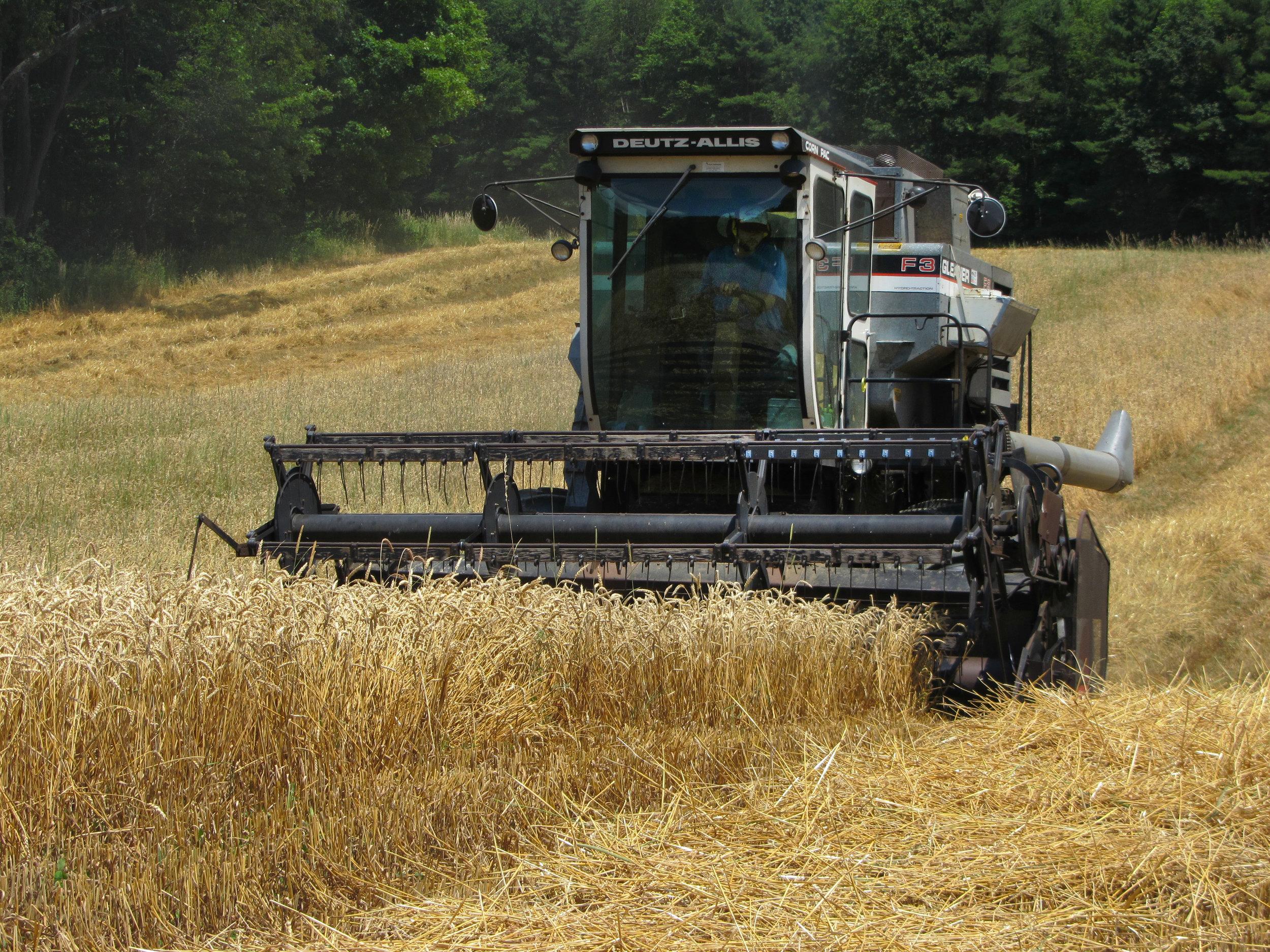 Combining wheat_RachelLodder.JPG