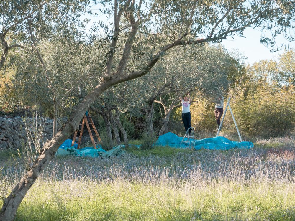 Die Olivenpflücksaison hat begonnen