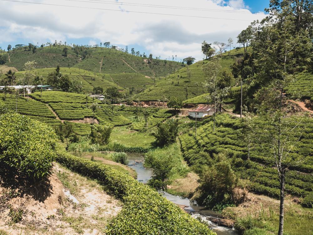 Teeplantagen soweit das Auge reicht
