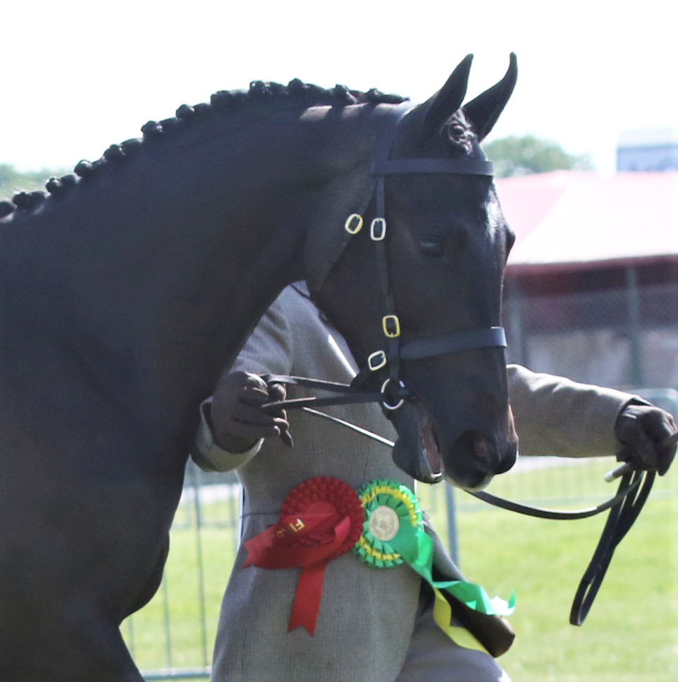 Geminis Classic Dancer_Suffolk Show_Head only_Yearling Sports horse class_2019 copy.jpg