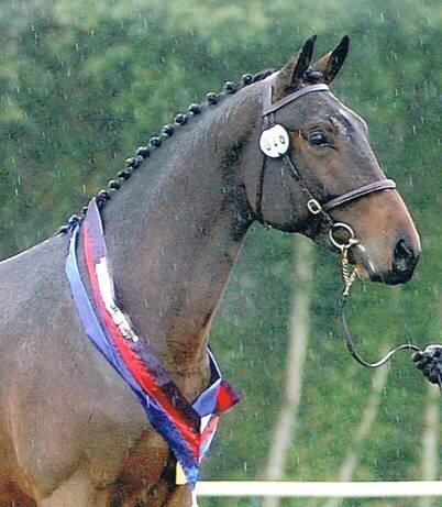 The Gemini Stud Stallion Classic Primitive winning the British Eventing Breeding Young Horse Championships