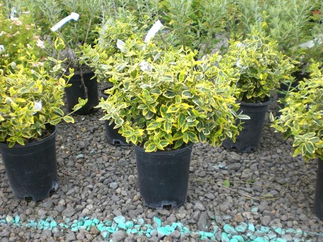 Deciduous Shrubs Brandywine Nursery Mt Vernon Wa 360 424
