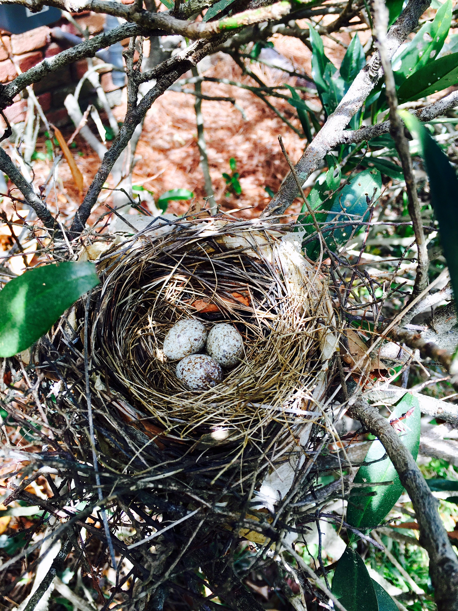 Bird nest Lisa found in her yard this year ... the real thing!