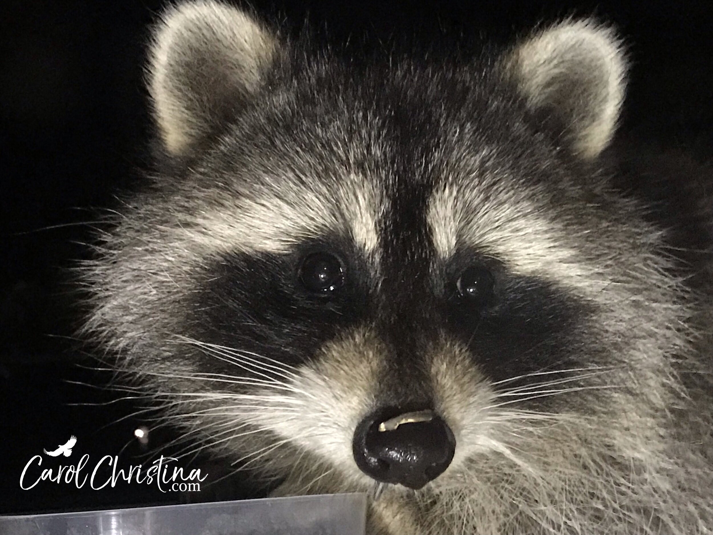 A little raccoon at my window with a sunflower seed shell on his nose.