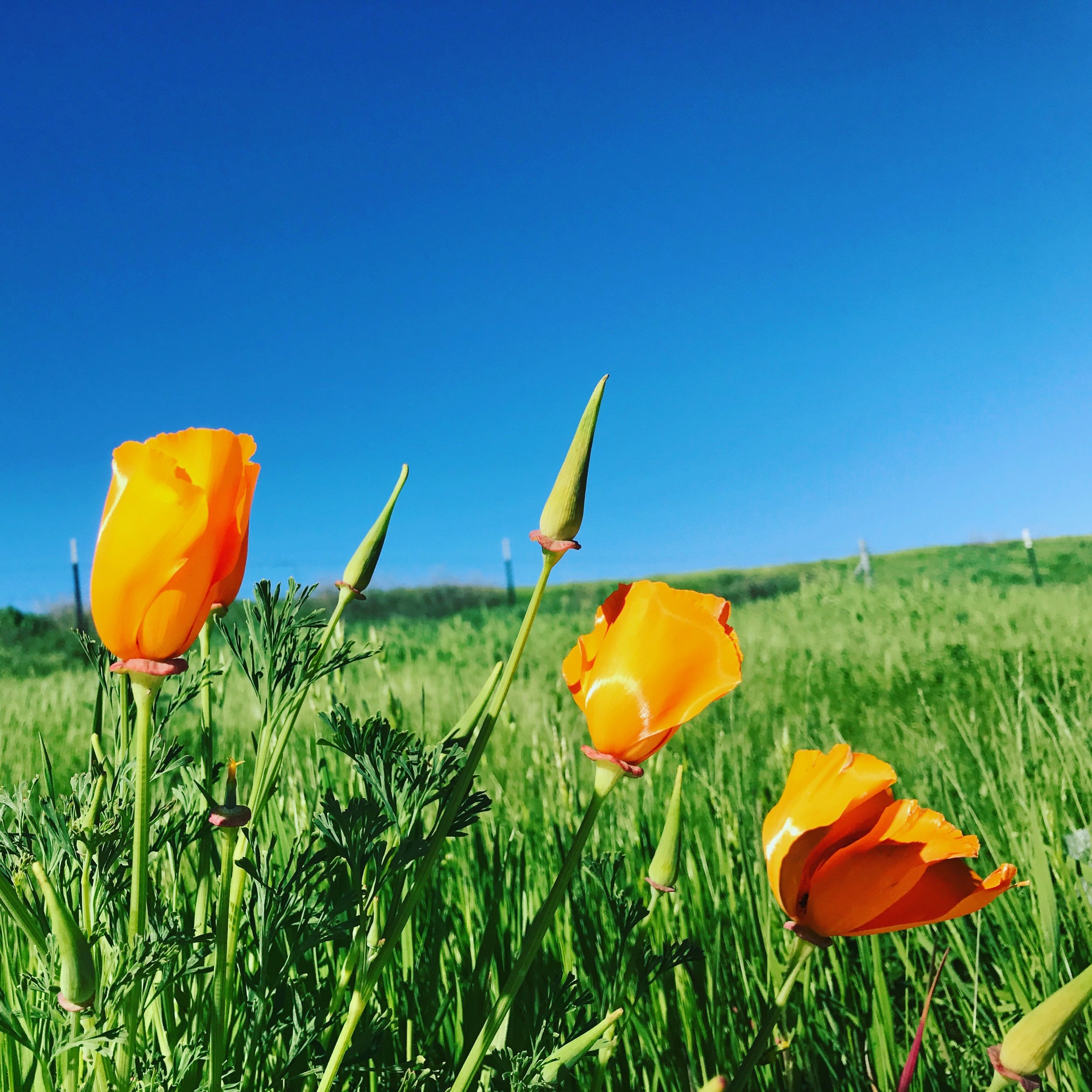 Poppies. PC: Kinsey
