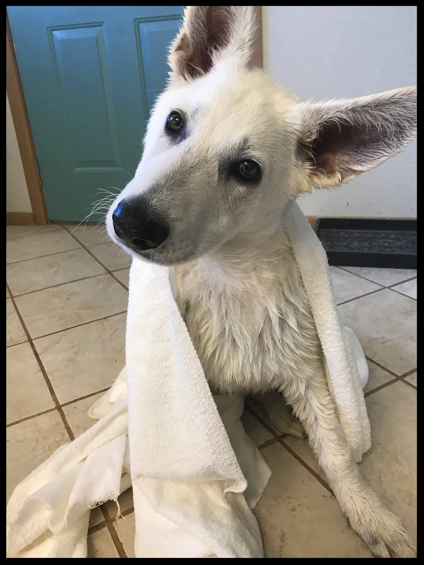 A Polarbear after Bathtime.
