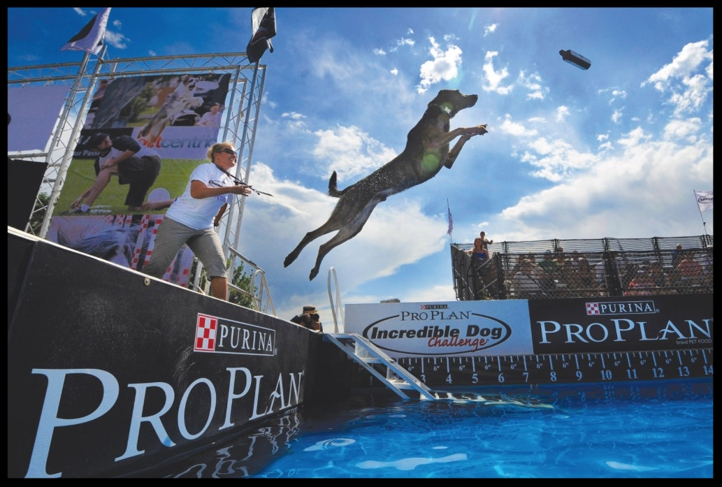 A Polarbear's natural love of water, their athletic bodies, intelligence, strength, and heart make them ideal Dock Diving Dogs. It is a brand new sport! Would you consider joining?