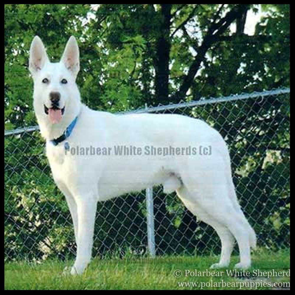 The dog that started Polarbear White Shepherds
