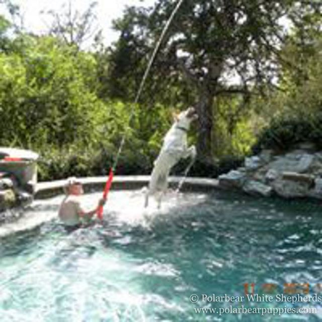 This is an example of how much our Polarbear Shepherds love water and swimming pools!