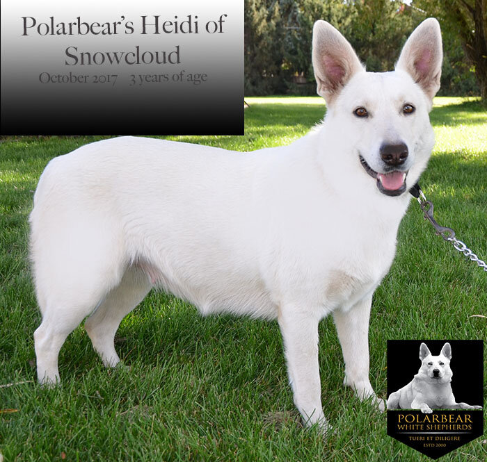"""Wt. 85# Ht. 25.5"""" in. AKC # DN38524101 Daughter of Polarbear's Prince Caspian (OFA32F OFEL32. AKC DNA #V649381) and Polarbear's Sugar Snowcloud DN25163407    Heidi is one of our most beautiful females and extremely gifted. She produces exceptionally large puppies. Heidi is a human radar detector! She has an amazing ability to judge people and will warn you if someone is not a safe person. She is friendly and affectionate and the most intelligent """"human with fur"""" in the room. She is a good balance of everything we look for in a Polarbear. Heidi has a gorgeous short, smooth, nearly shed-free, arctic white coat."""