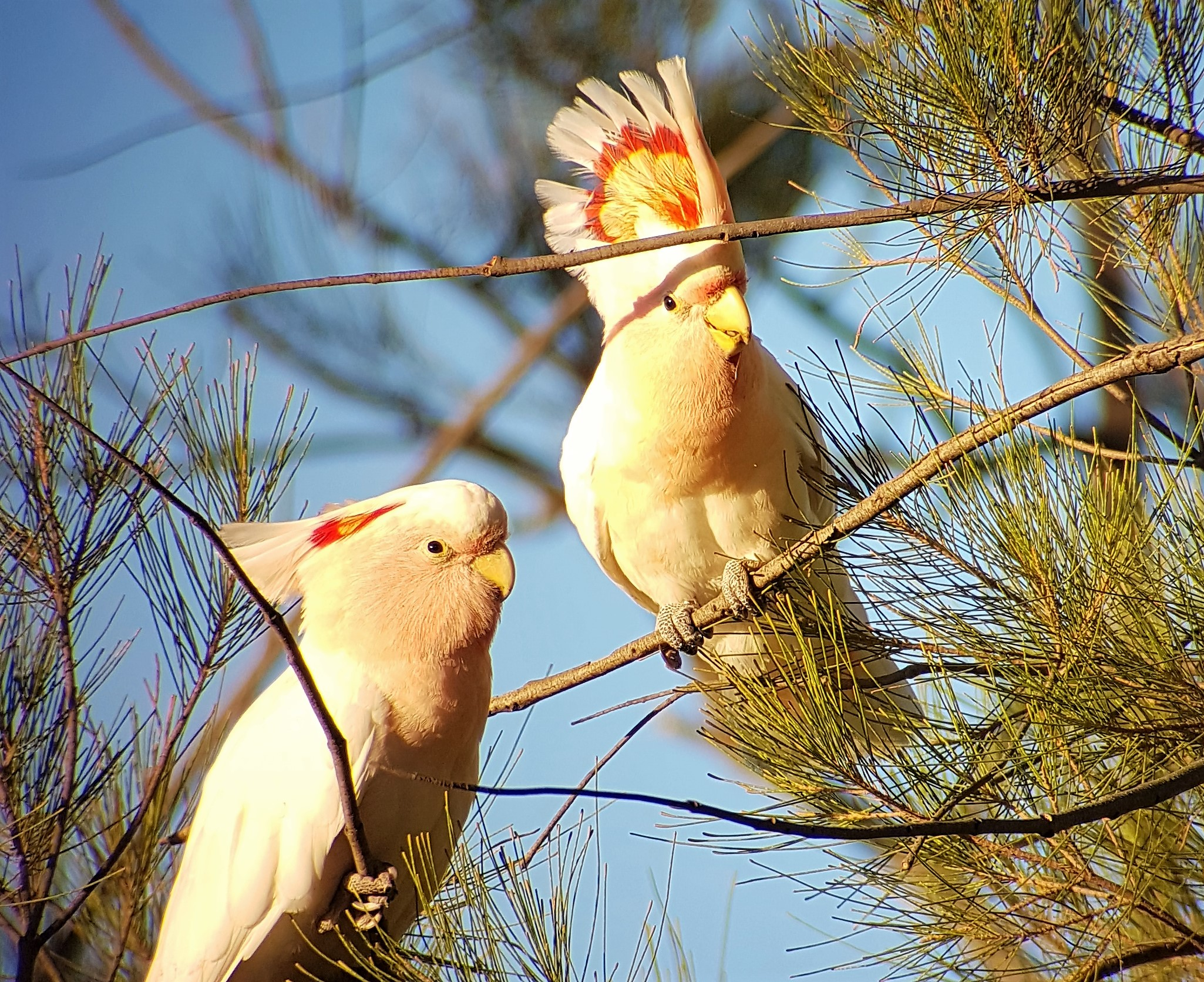 A pair of Major Mitchell's Cockatoo seen recently in the mallee country