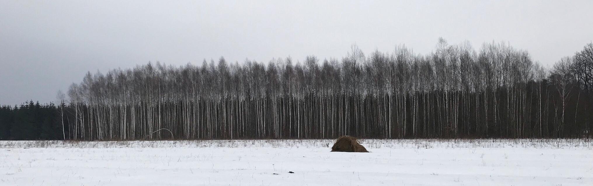 Birch-trees-bialowieza-forest.jpg