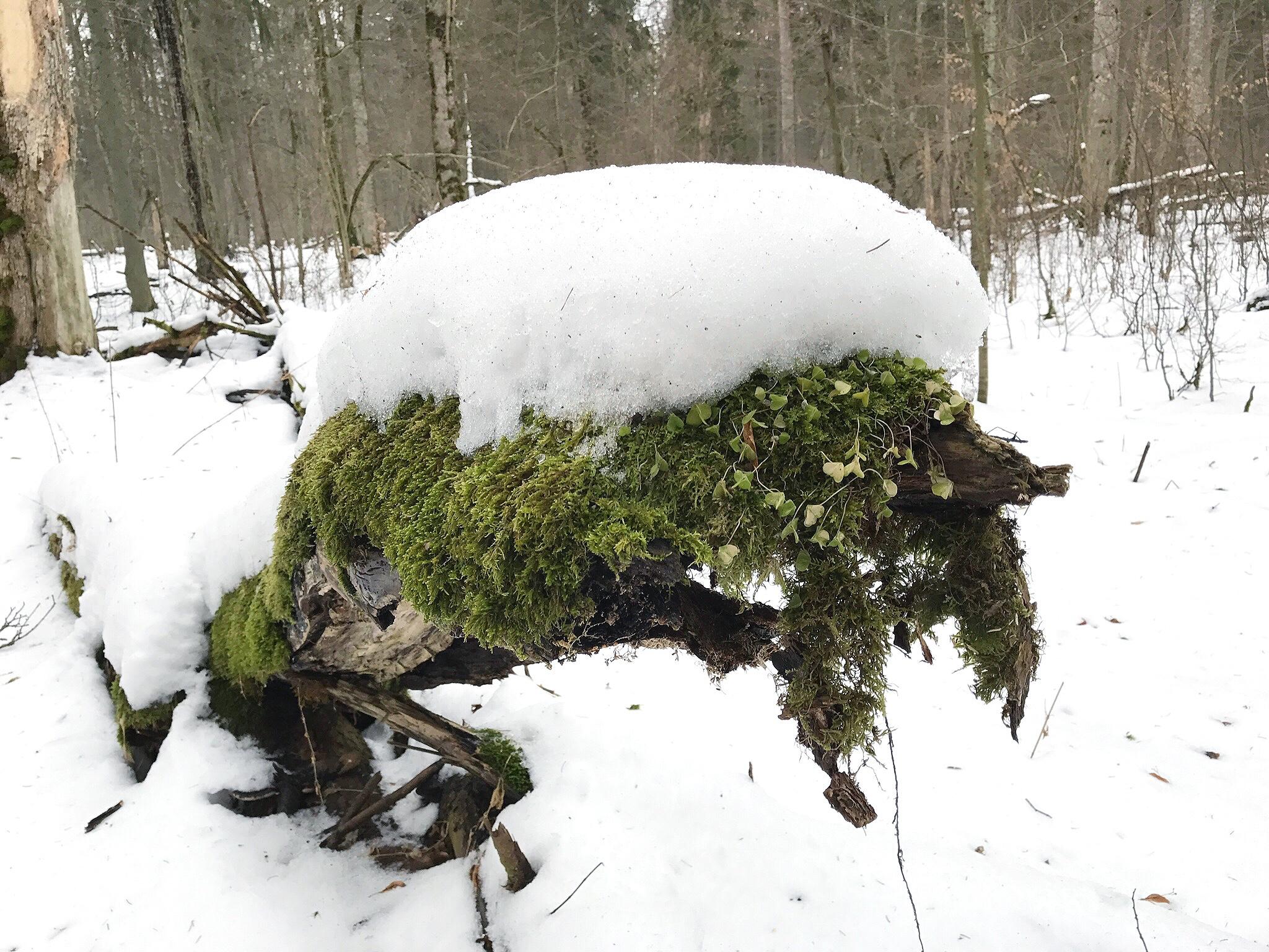 snow-log-bialowieza-forest.jpg