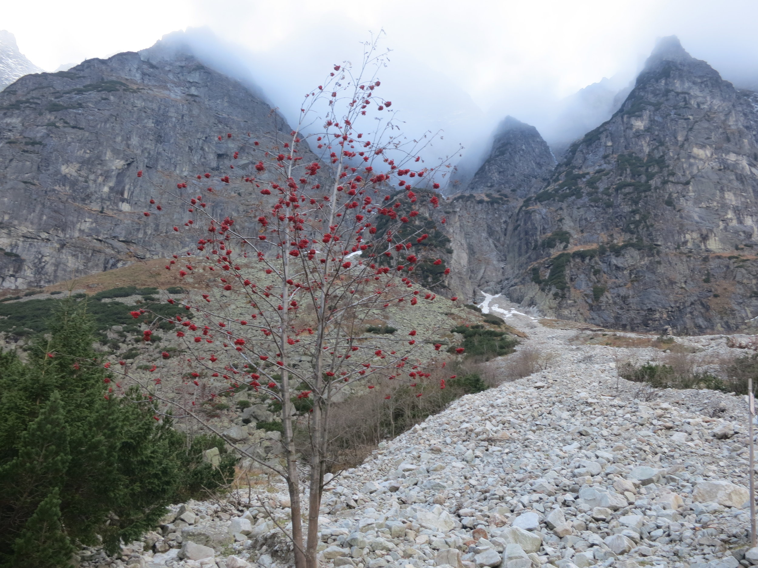 A tree with red berries in the Tatra Mountains