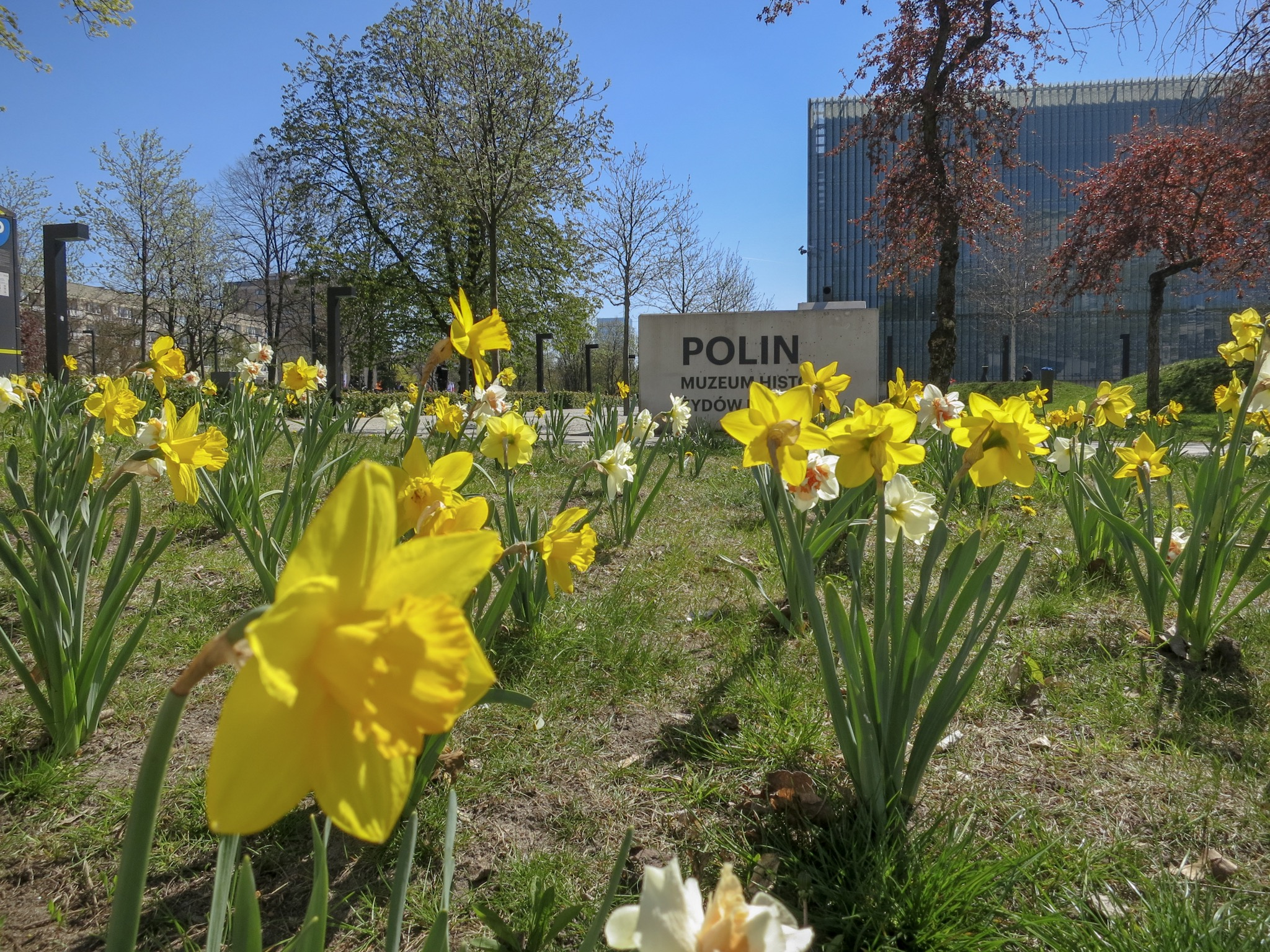 Daffodils outside the Polin, the Museum of the History of the Jews in Poland