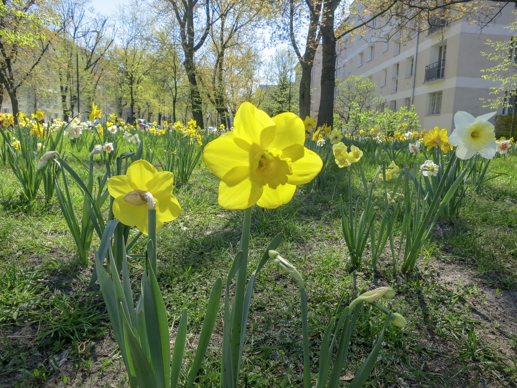 Daffodils planted around the old Jewish quarter of Warsaw