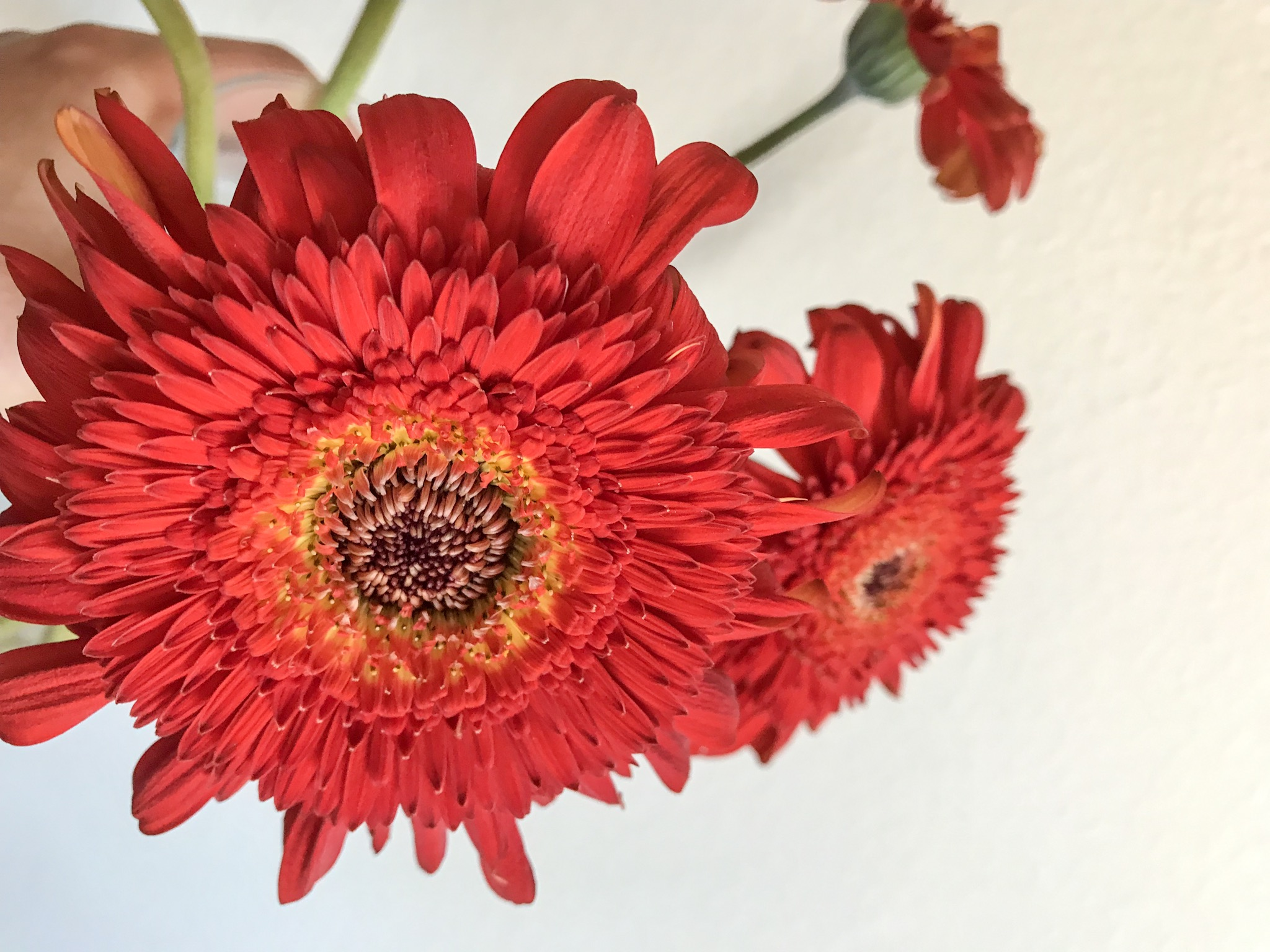 Red Gerber Daisies against a white wall