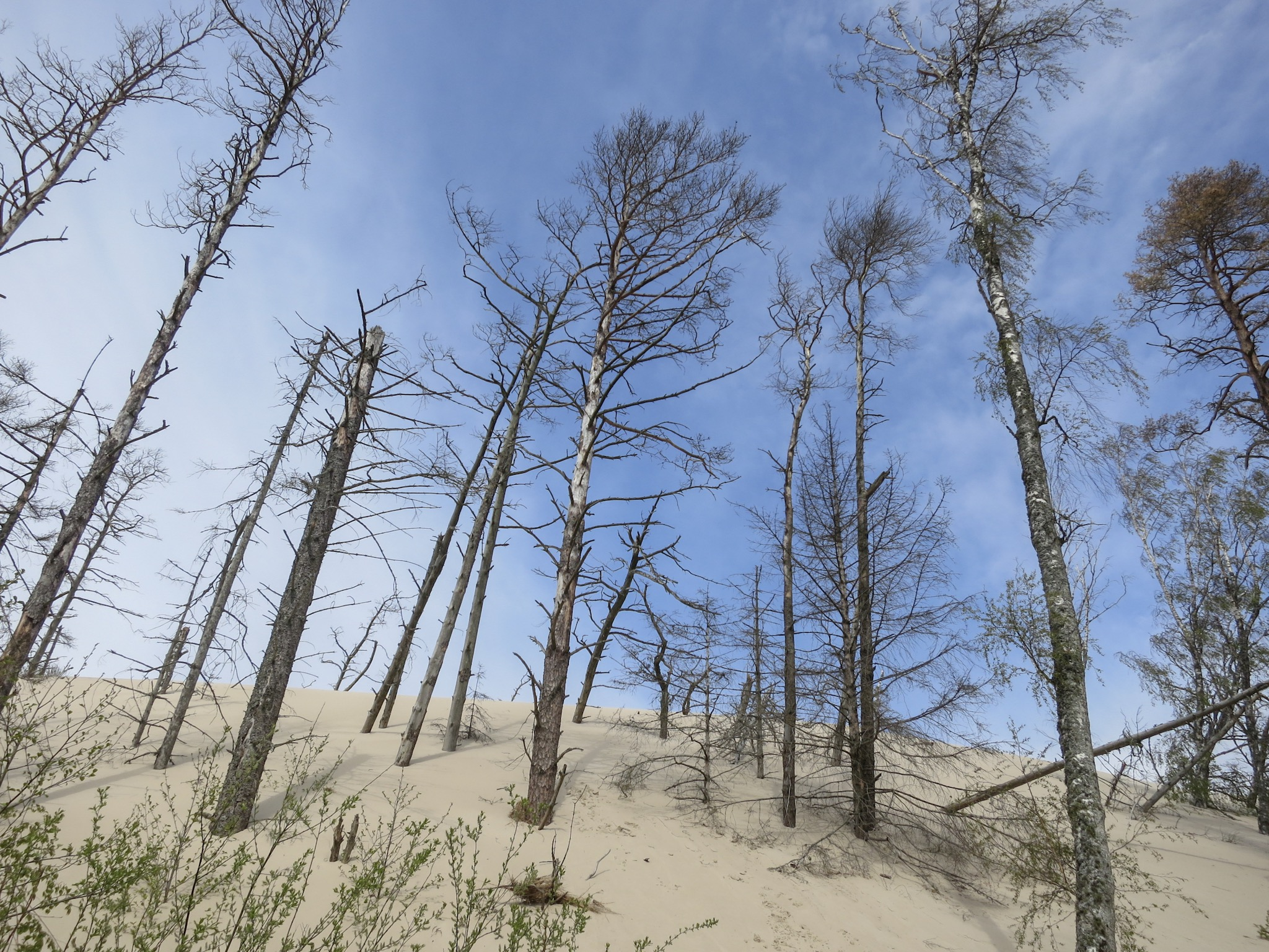 Trees jut out of the side of the Łackca Sand Dune In Słowiński National Park