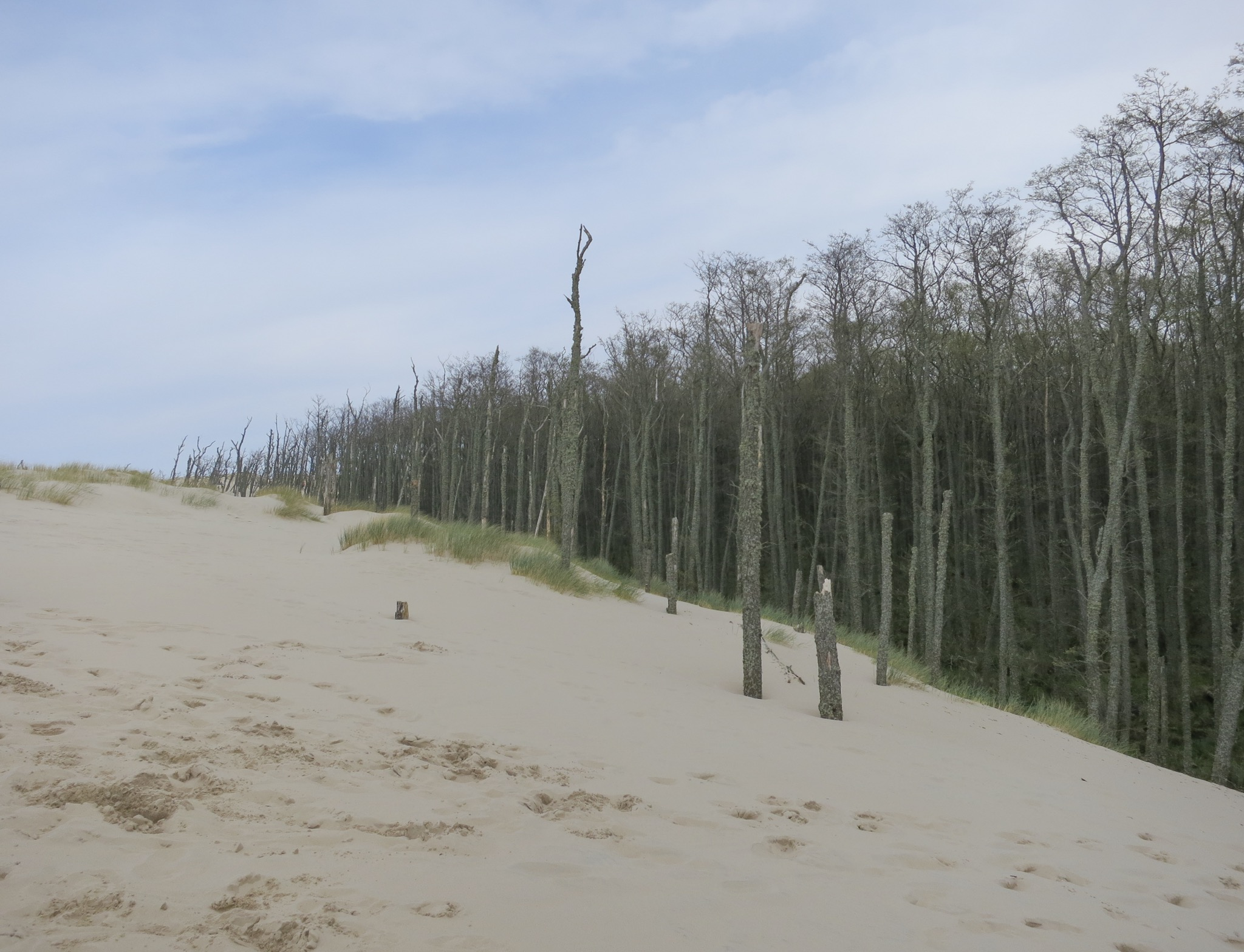 Alder forest being slowly consumed by the Łackca Sand Dune In Słowiński National Park
