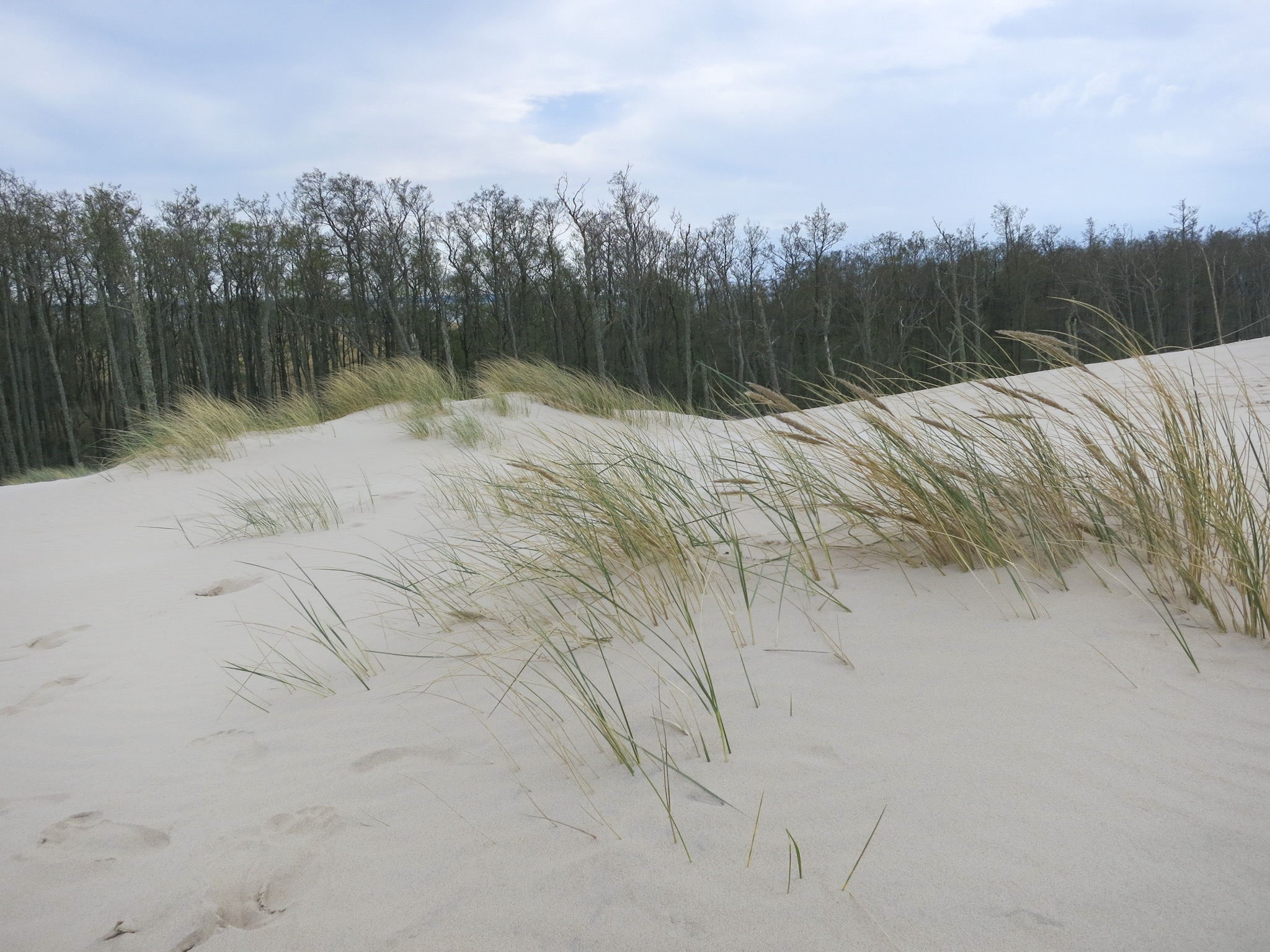 Grasses in front of the Alder forest on the eastern edge of the Łackca Sand Dune In Słowiński National Park