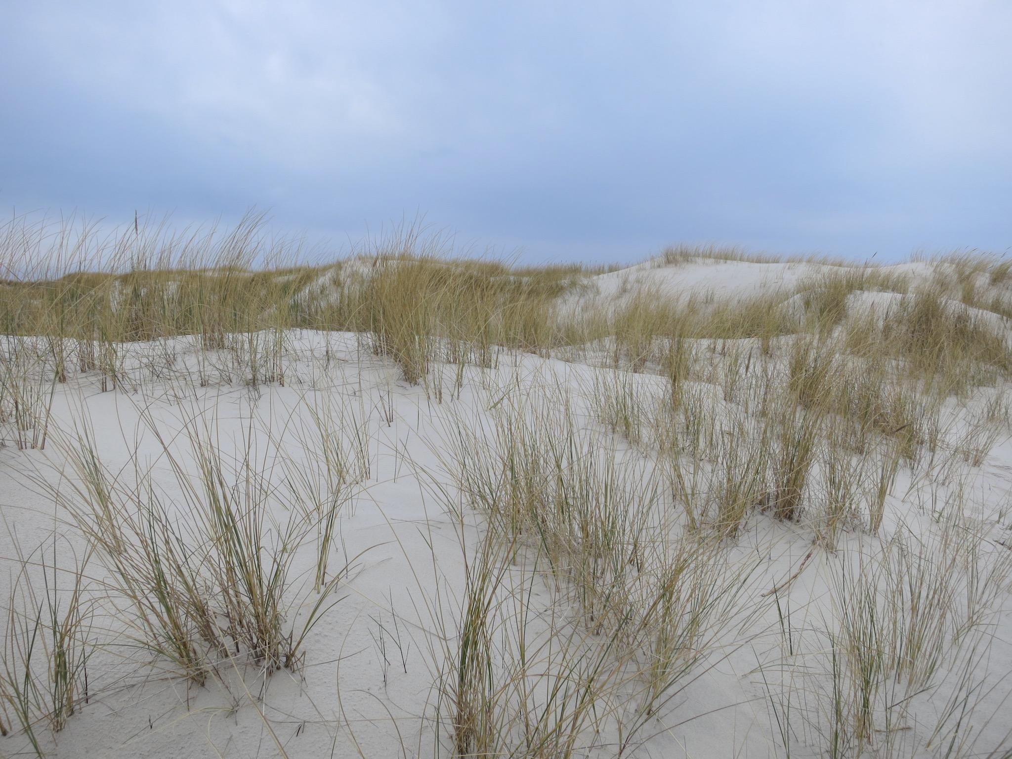 Grasses on the Łackca Sand Dune In Słowiński National Park