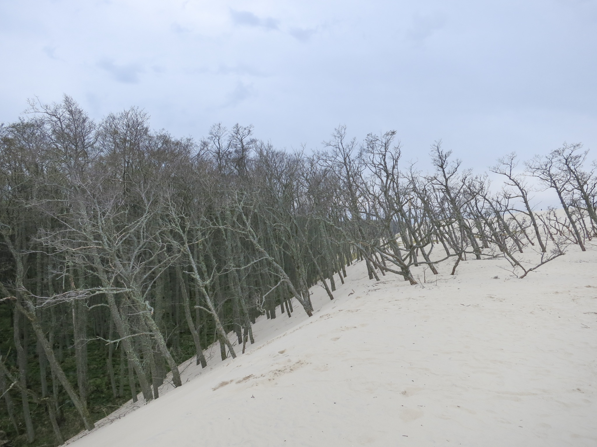 Dead alder trees that stick out of the top of the Łackca Sand Dune In Słowiński National Park