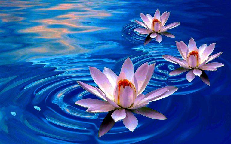 lotus-flower-first-choice-768x480.jpg