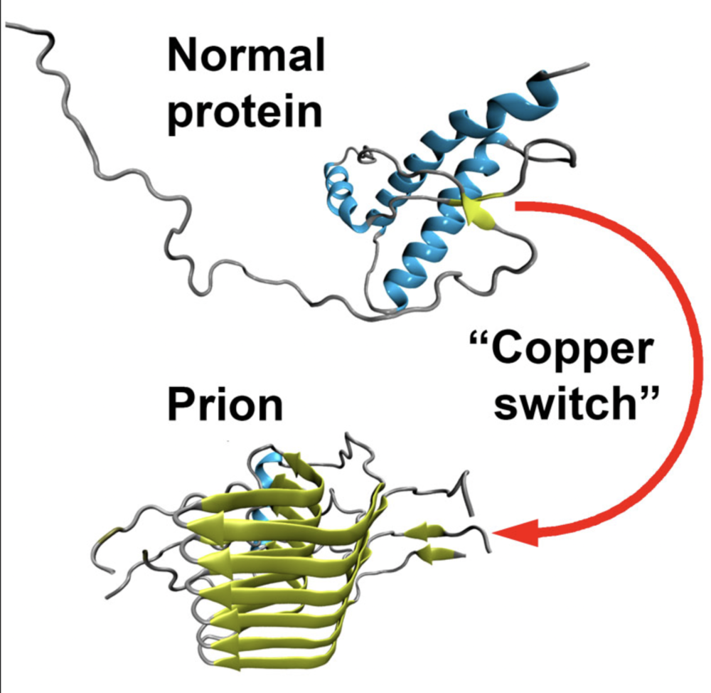 Certain small chemical processes can cause a protein to misfold, becoming a prion, which then creates more misfolds. There is no known cure and prion diseases like madcow are eventually fatal. Researchers believe the SARS-Cov-2 spike protein throws off a zinc ion, and that error starts the misfold nightmare.