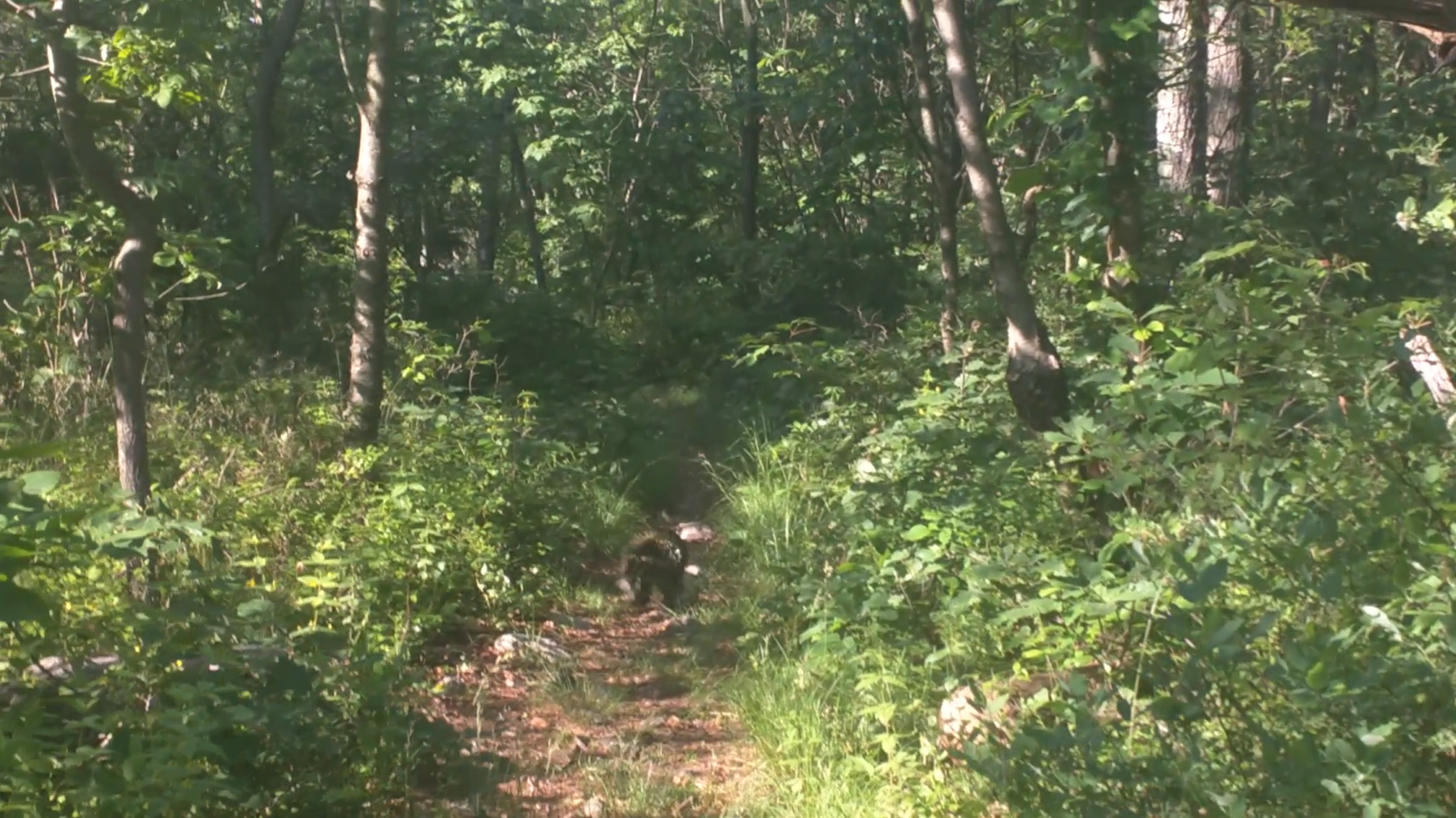 I promise that grainy black mass in the trail is a porcupine.