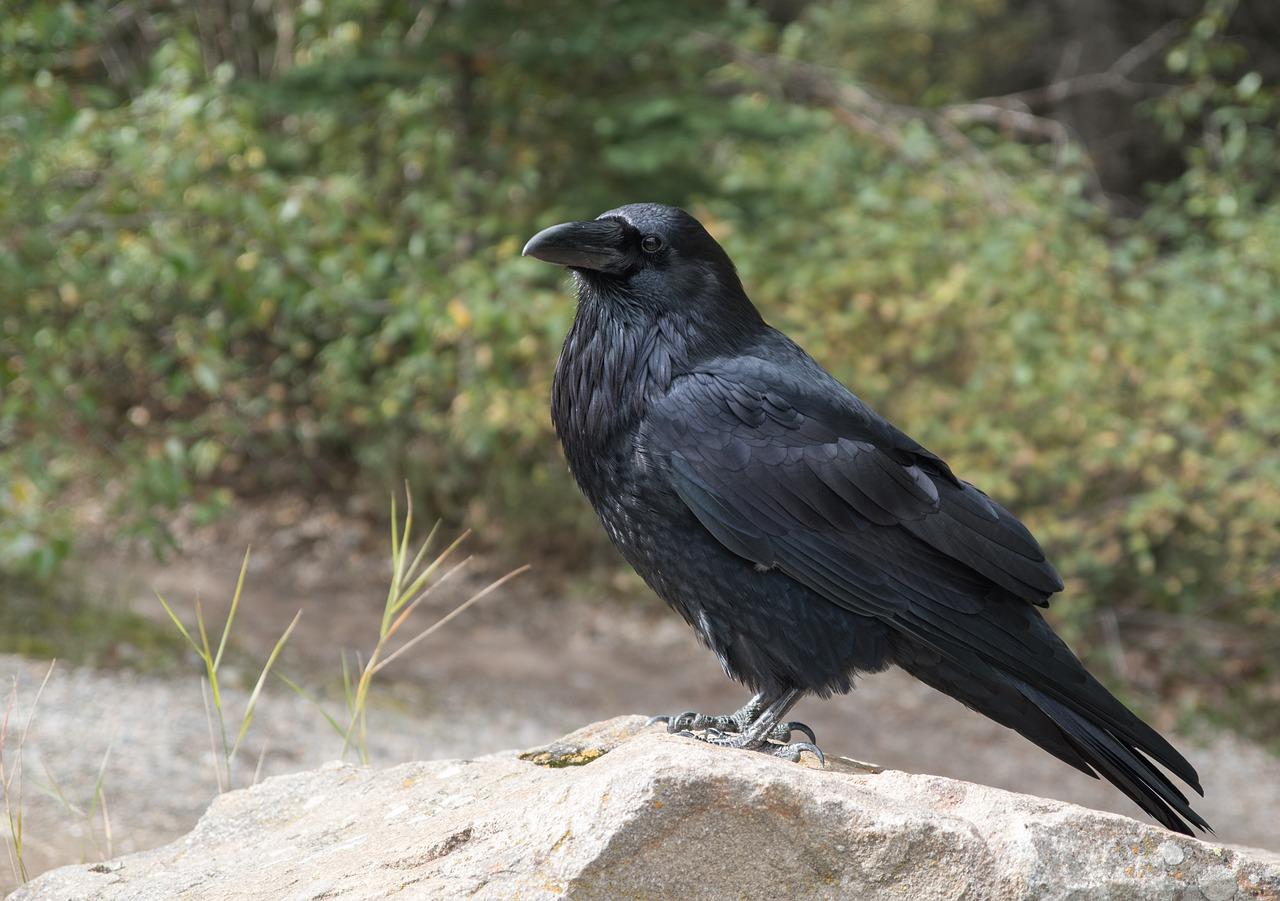 raven-2162966_1280.jpg
