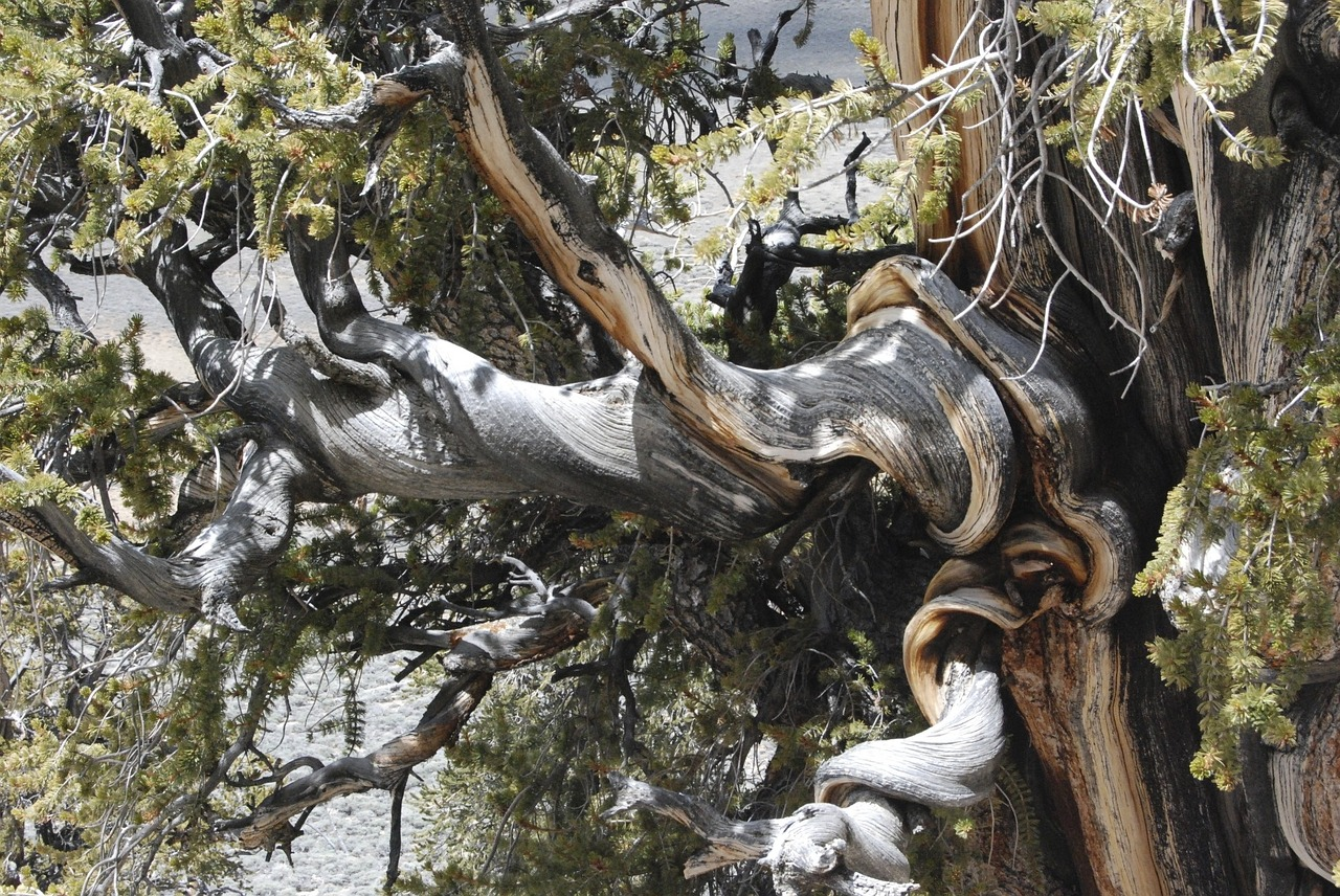 See that tree? A bristlecone pine. The oldest living single organism known. And a good image of persistence.