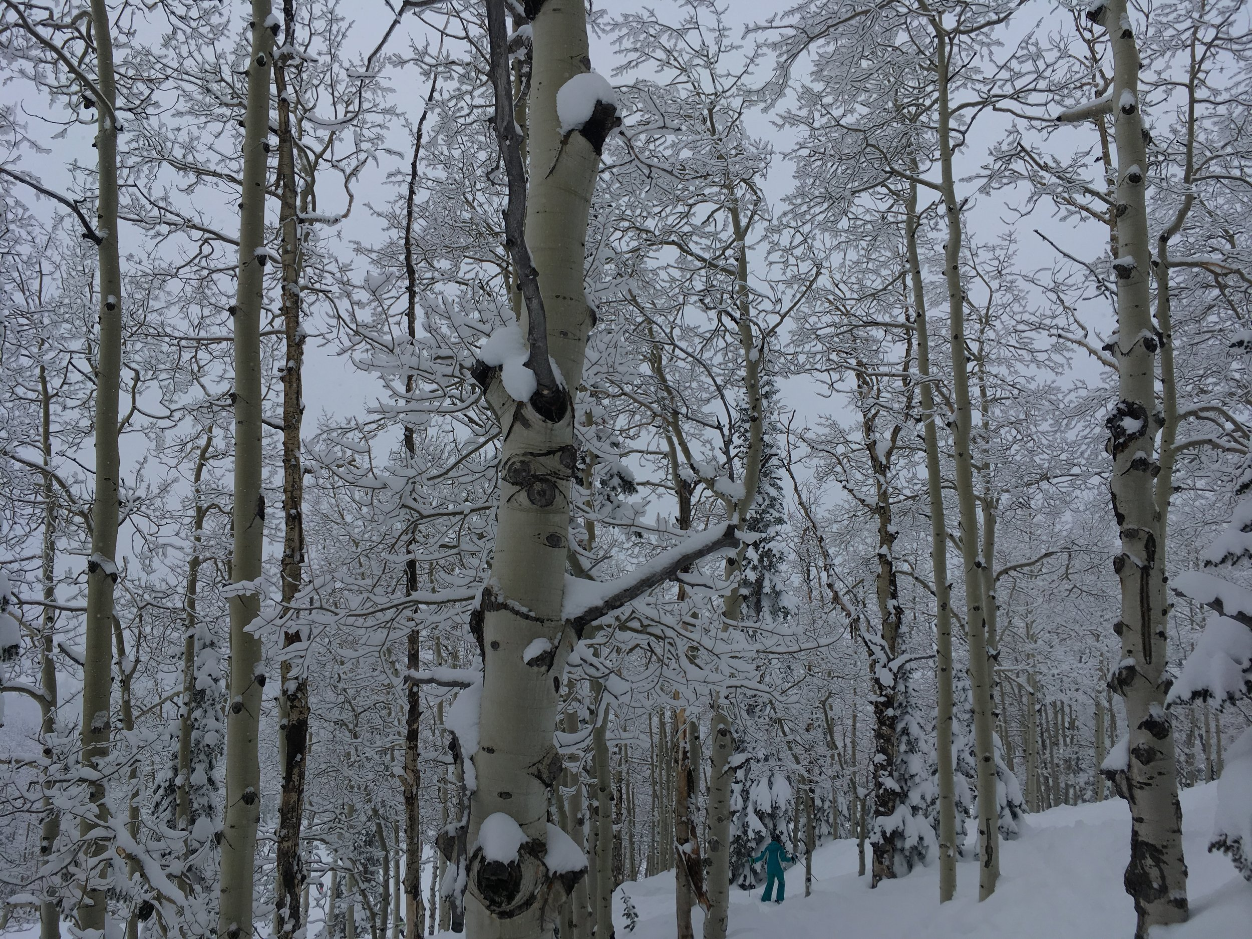 snowy trees - skiing.jpg