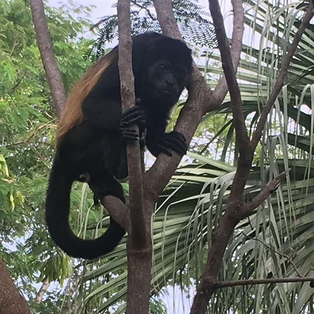 Hello Howler monkey! These monkeys are said to be divine patrons of artisans, especially scribes and sculptors. So I was excited when this one came to say 'hi' during our trip to Costa Rica.⠀ ***⠀ I loved sitting outside our room and watching them travel from roof to tree to roof - adults and youngsters and babies clutching to their mother's backs. They're the loudest land animals around - their howls travel up to three miles. They don't drink water, instead getting hydration from the leaves they eat. And they rarely leave the safety of the trees to touch their feet on the ground.⠀ ***⠀ I'm not sure if my encounter with these guys will help me write my next book... but they certainly were fun to watch. And sometimes fun makes for good inspiration.⠀ .⠀ .⠀ .⠀ #amwriting #amwritingya #amwritingromance #amreading #amreadingya #bookstagram #yabooks #yalit #readersofinstagram #booknerd #stemgirls #girlsinstem #biology #science