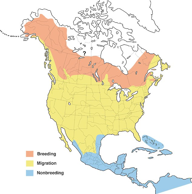 Distribution of the Solitary Sandpiper (courtesy of Cornell Lab of Ornithology).