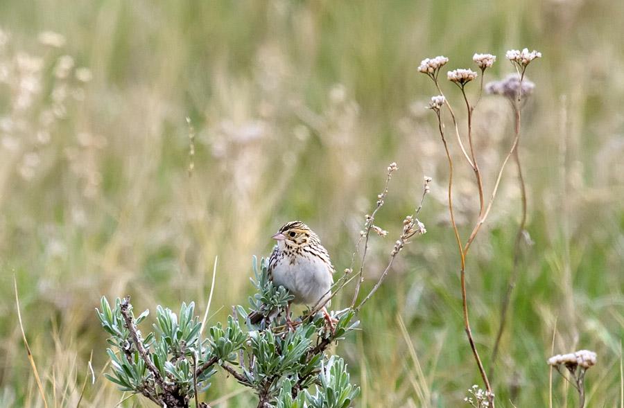Baird's Sparrow                                       (Bob Martinka photo)