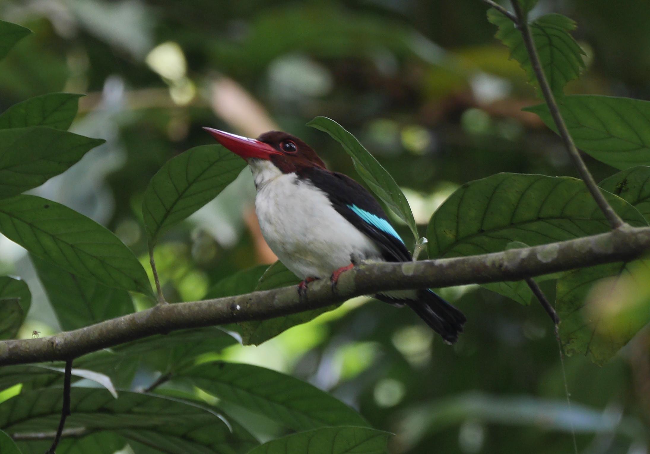 Chocolate-backed Kingfisher, Abrafo Forest, November 2016 (Tom Franzen photo)