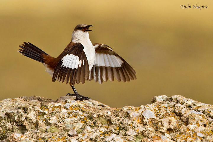 White-bellied Cinclodes (Dubi Shapiro, photo)