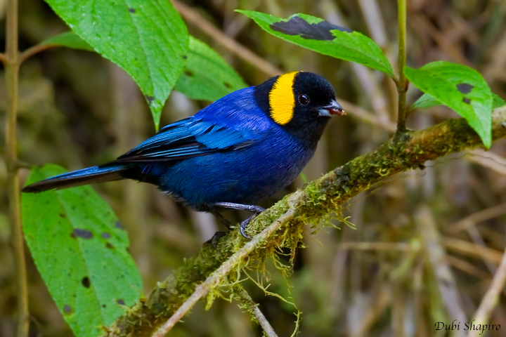 Yellow-scarfed Tanager (Dubi Shapiro, photo)